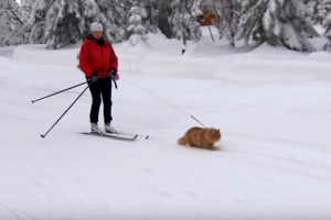 norwegian-cat