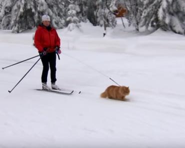 norwegian-cat